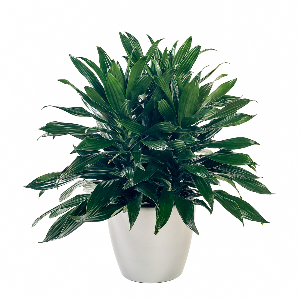Dracaena Green Jewel