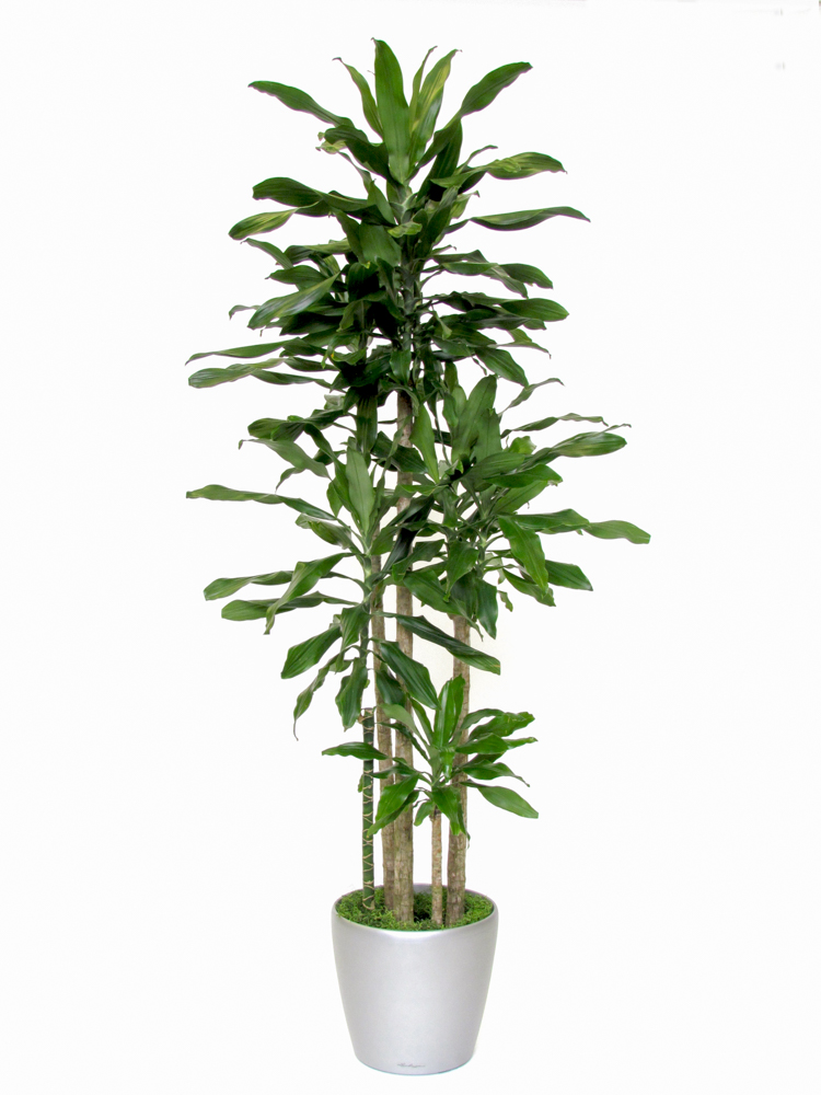 Dracaena Janet Lind - canne Lechuza Classico