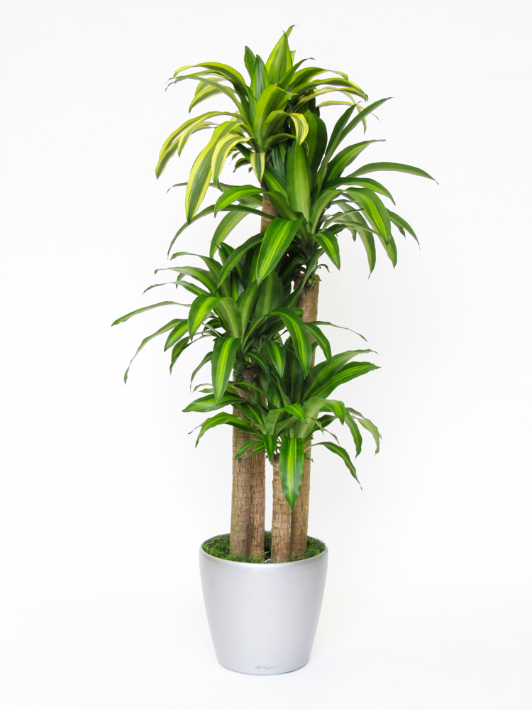 plantes naturelles dracaena massangeana canne 10 3 39 2 39 1 39. Black Bedroom Furniture Sets. Home Design Ideas