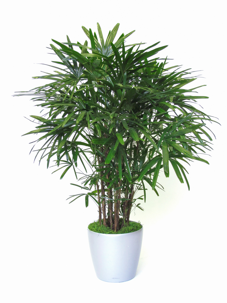 natural plants rhapis excelsa 10 alphaplantes. Black Bedroom Furniture Sets. Home Design Ideas